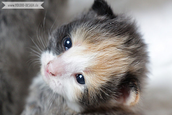 Main Coon Kitten | www.youdid-design.de