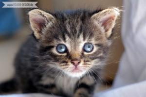 Main Coon Kitten   www.youdid-design.de